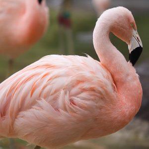 tracy aviary flamingo